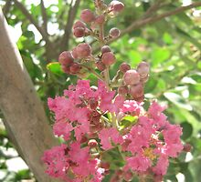 Pink Crape Myrtle 2 by Christopher Johnson