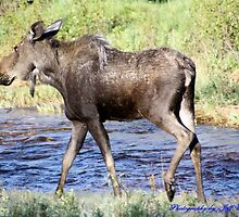 Cow Moose  by jeff welton