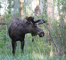 Bull moose  by jeff welton