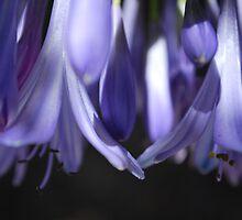 Agapanthus Dream by Lozzar Flowers & Art