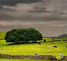 Cows, Trees & Walls by David J Knight