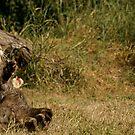 Scottish Wildcat by Mooguk