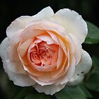 Abraham Darby, David Austin rose growing in my garden by eveline