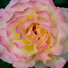 One of my Roses by BarbaraWilliams