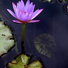 Pink Lily on Pond by Landscapes Mainly .