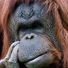 Orang Utan - Pongo pygmaeus pygmaeus by Robert Taylor