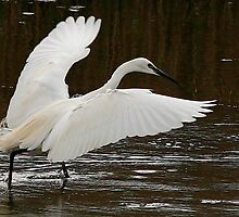 The Little Egret by snapdecisions