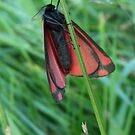 Cinnabar Moth: three by sarnia2