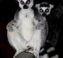 Ring Tailed Lemurs by Paulette1021