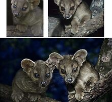 EXTRA INFO ON: FOSSA Cryptoprocta ferox (NOT A PHOTOGRAPH) PLEASE READ BLURB by DilettantO