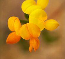 Lotus corniculatus by Priska Wettstein
