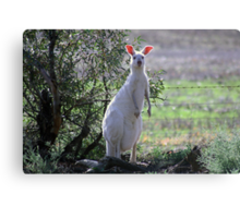 Who me!  Skippy the white Kangaroo Canvas Print