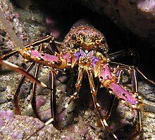 Painted Lobster ~ Julian Rocks by JimDodd