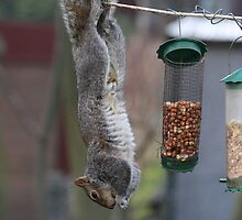 Squirrel 1 - Just hanging around! by Peter Barrett