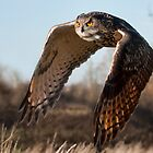 Flight of the Eagle Owl by Val Saxby