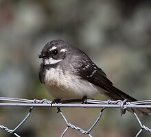 Grey Fantail by mosaicavenues