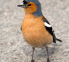 Chaffinch by sandmartin