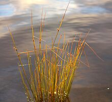 reeds and reflection by waterchild