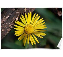 Yellow Compass Wildflower Poster
