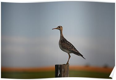 Upland Sandpiper in Kansas by Suz Garten