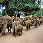 ELEPHANTS GOING FOR A BATH. SRI LANKA. by ronsaunders47