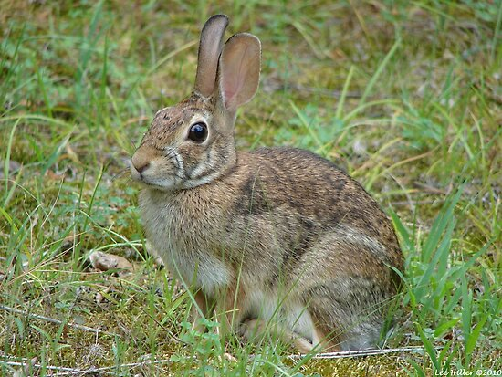 Eastern Cottontail - Hot Springs National Park by Lee Hiller