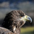 White-tailed Sea eagle 'Sika' by Simone Kelly