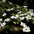 Dogwoods by Mark Ramstead
