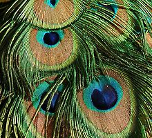 Peacocks Feathers by Robert Taylor