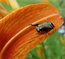 Japanese Beetle Just Hangin' Out by vigor