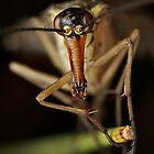 Common scorpionfly (Panorpa communis) female by DavidKennard