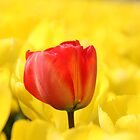 Red Tulip by Moonen