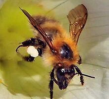 Bee On Flower 0020 by mike1242