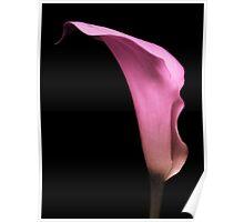 Pink Calla Lily. Poster