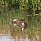 Pacific Black Duck by mosaicavenues