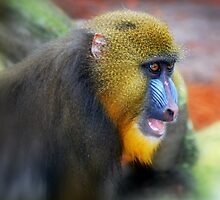 Baboon Beauty by Colleen Rohrbaugh