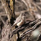 Rufous Whistler (female) by mosaicavenues