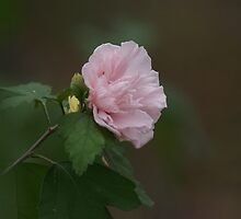 Rose of Sharon by TxGimGim