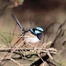 Superb Fairy-wren (male, breeding plumage) by Kerryn Ryan, Mosaic Avenues