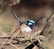 Superb Fairy-wren (male, breeding plumage) by mosaicavenues
