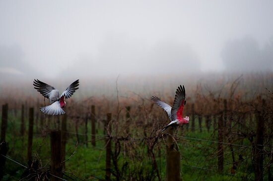 galahs in the mist by paul erwin