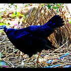 Satin Bond - Satin Bower Bird by VanishingMoment