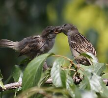 Feeding Time : Sparrows by AnnDixon