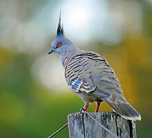 Crested Pigeon In Our Yard. Brisbane, Queensland, Australia. by Ralph de Zilva