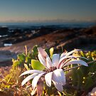Sea Side Daisy by Kylie  Sheahen