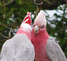 startled galahs by betty porteus
