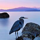 Great Blue Heron  by adriangeronimo