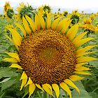 Sunflower by Jagadeesh Sampath