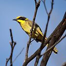 Yellow-tufted Honeyeater by Kerryn Ryan, Mosaic Avenues
