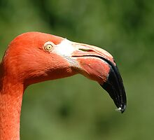 Portrait  of a Caribbean Flamingo (Phoenicopterus ruber) by Robert Taylor